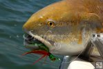 Redfish (Bull)